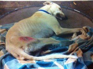 O cão foi abandonado em um abrigo após sofrer uma lesão que o impediu de competir. (Foto: Joanne Tester)
