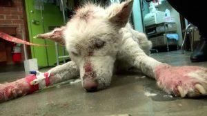 Miley em tratamentto três dias após seu resgate. (Foto: Reprodução / Hope for Paws)