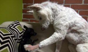 Os cães se deram bem desde o primeiro encontro e Frankie nunca teve medo de Miley. (Foto: Reprodução / Hope for Paws)