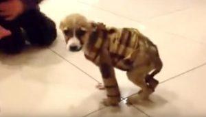 Faith foi a única sobrevivente. A filhote não conseguia andar por conta da doença e foi conseguindo caminhar aos poucos. (Foto: Reprodução / Youtube Pawsitive)