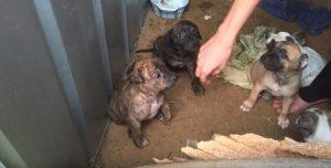 O pequeno cão vivia em condições precárias e sem cuidados. Os filhotes foram retirados da mãe para serem vendidos em uma loja de animais. (Foto: Reprodução / Instagram Life of Pkelet)