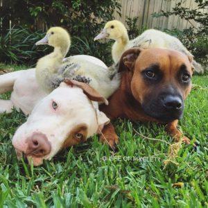 Os cães sempre foram carinhosos com os patos e ficaram tristes quando eles foram adotados. (Foto: Reprodução / Instagram Life of Pkelet)