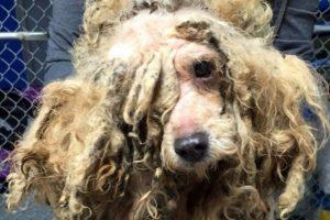 As cadelas reprodutoras muitas vezes vivem em um estado de negligência total. (Foto: Reprodução / Fairfield Area Humane Society)
