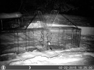 A detetive de cães utiliza câmeras de vigilância, mapas e armadilhas seguras para capturar os animais. (Foto: Reprodução / Sheilah Graham)