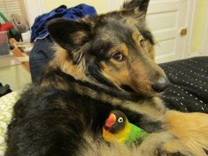 O pássaro Noir adora se aninhar no pelo do cão Jackson. (Foto: Reprodução / Melissa Gill)