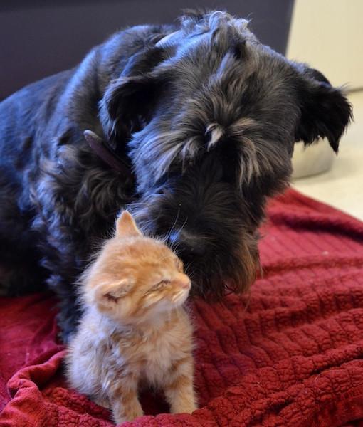 A cachorra cuida de gatinhos órfãos e doa sangue. (Foto: Reprodução / The Dodo)