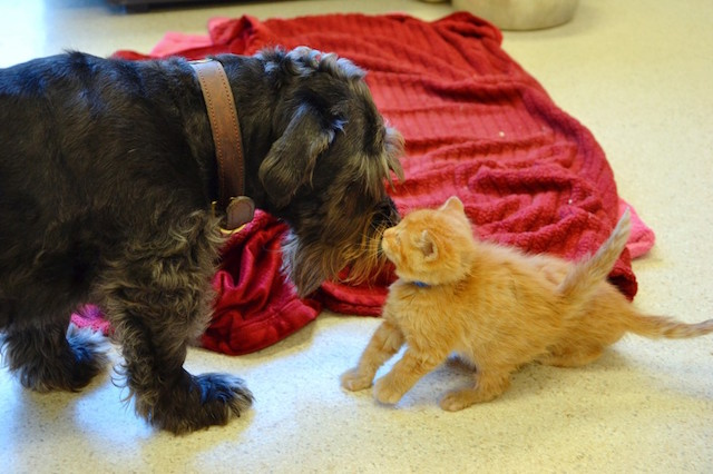 A cachorra Jemmie dedica sua vida aos gatinhos necessitados. (Foto: Reprodução / The Dodo)