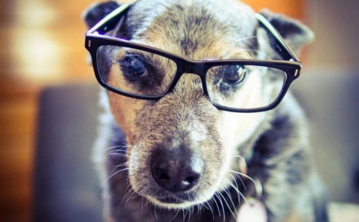 Será que os cães idosos precisam usar óculos? (Foto: Reprodução / BarkPost)
