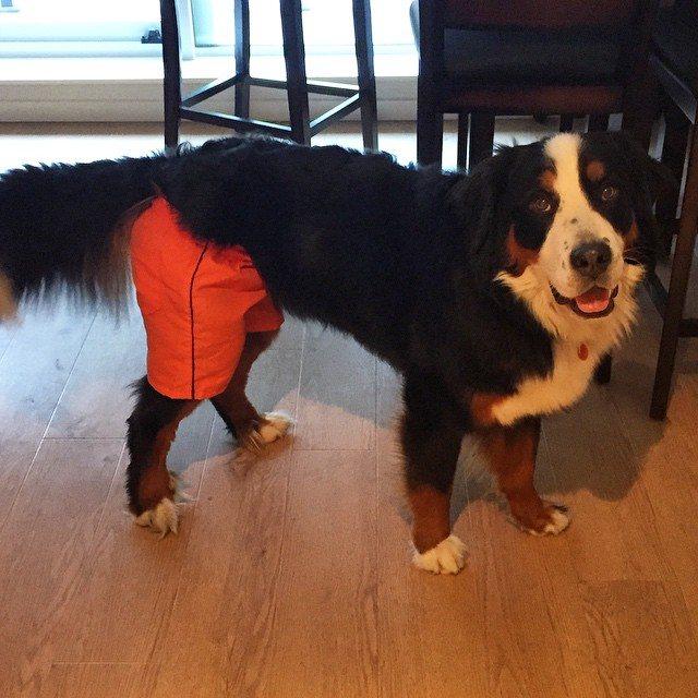 cachorro-shorts-02