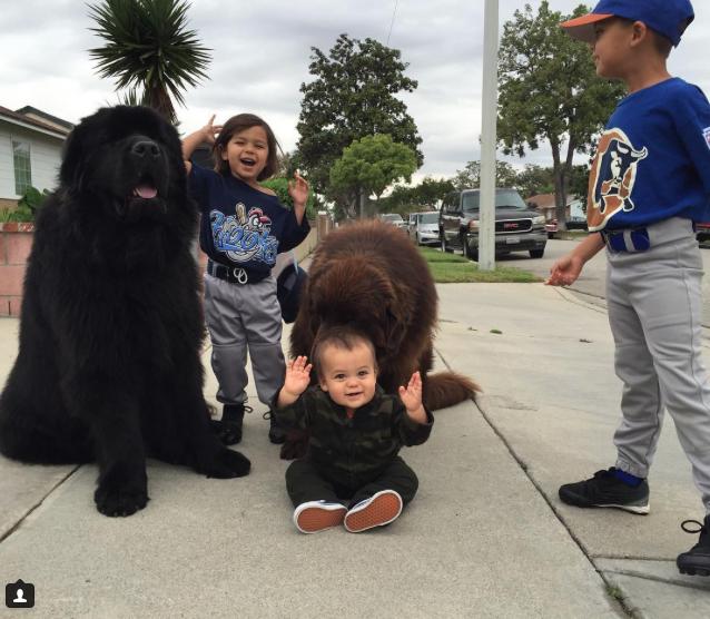As crianças se divertem com seus irmãos caninos. (Foto: Reprodução / Instagram / ralphie_the_newf_and_the_boss)