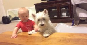 Com medo de que o bebê coma o franguinho antes, o cão Beau logo abocanha a comida assim que consegue. (Foto: Reprodução / Rumble)