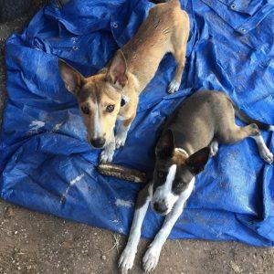 Os cães chegaram na propriedade e não quiseram mais sair. (Foto: Reprodução / Instagram thelmaandlouisedogdays)