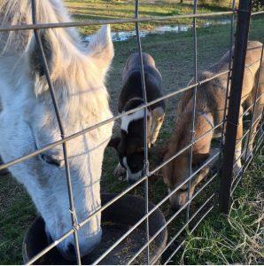 Os dois logo se deram bem e fizeram amizade com os outros animais do lugar. (Foto: Reprodução / Instagram thelmaandlouisedogdays)