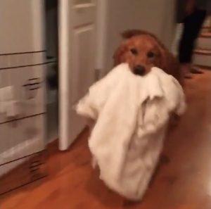 Para onde vai o cãozinho Gus carrega o seu cobertor preferido. (Foto: Reprodução / Instagram Gus The Golden)