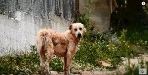 O cão foi encontrado em uma situação terrível e com muito medo. (Foto: Reprodução / Youtube / Orphanpet GR)