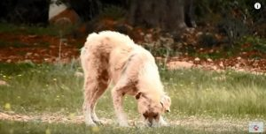 Para que o resgate pudesse ser realizado foi preciso sedar o cão.(Foto: Reprodução / Youtube / Orphanpet GR)