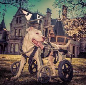 O cão ganhou uma cadeira de rodas sob medida para se locomover para onde quiser. (Foto: Reprodução / Thomas Dilworth)