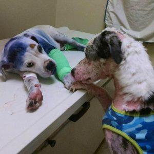 Logo o cão mais velho mostrou se sentir muito preocupado com a situação do novo amigo. (Foto: Reprodução / Rescue Dogs Rock NYC)