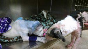 Sammie ainda irá passar por um longo tratamento, mas com a ajuda e companhia de Simon o filhote logo estará recuperado. (Foto: Reprodução / Rescue Dogs Rock NYC)
