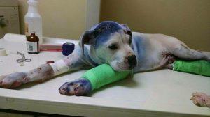 Simon está sempre ao lado de , estendendo sua pata e dando forças para o filhote. (Foto: Reprodução / Rescue Dogs Rock NYC)