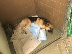 O cão está recebendo os melhores cuidados e segue em um tratamento caríssimo. (Foto: Reprodução / Gofoundme / Save Haus)