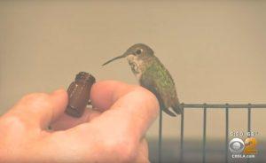 O beija-flor é bem cuidado e recebe uma alimentação específica para ele. (Foto: Reprodução / Youtube CBS Los Angeles)