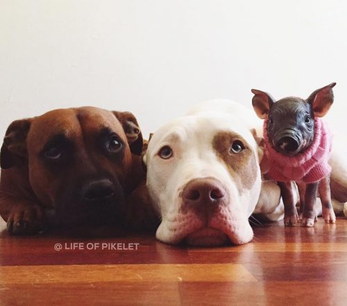 summary on pit bulls A story about the euthanization of a pregnant pit bull in amarillo has gone viral.