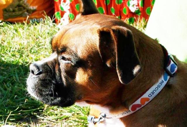 A cadela Anna ajuda cães necessitados.  (Foto: Reprodução / The Dodo)