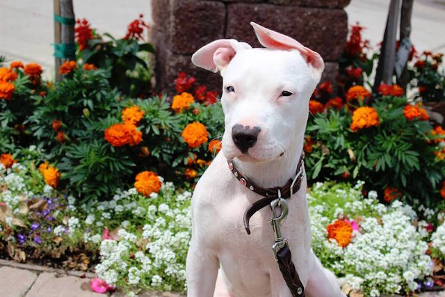 A cachorra Cha Cha quando ainda era filhote. (Foto: Reprodução / Facebook / Chako Pit Bull Rescue)