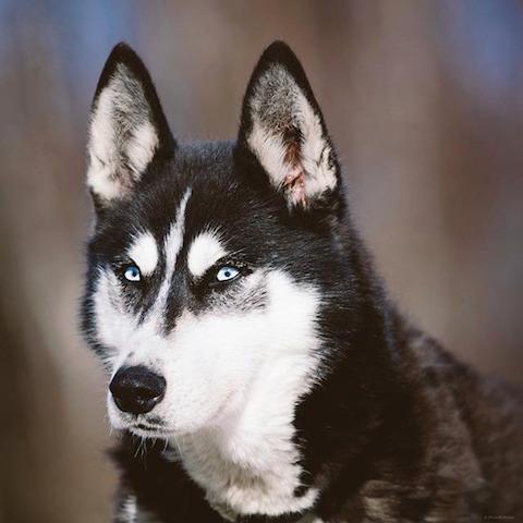 Husky Siberiano. (Foto: Reprodução / BarkPost)