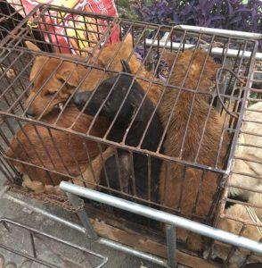 Os cães estavam presos em gaiolas em locais imundos. (Foto: Reprodução / Humane Society International)