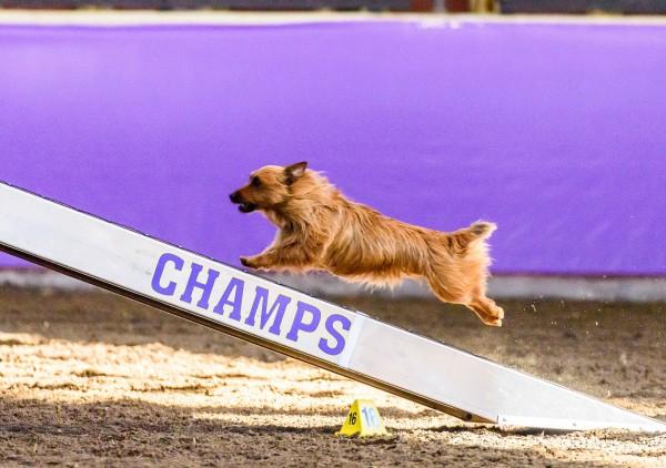 Terrier Australiano (Foto: Reprodução / Dogster)