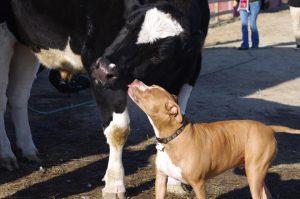 O cão e o boi estão sempre juntos, dando muito amor e carinho um para o outro. (Foto: Reprodução / Sunrise Sanctuary)