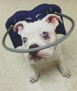 O cãozinho foi abandonado aos cinco meses por ser cego. (Foto: Reprodução / Sacramento SPCA)