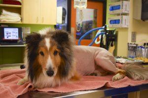 Ollie precisou ter seu pelo todo tosado para confirmar que não tinha mais nenhum parasita em seu corpo. (Foto: Reprodução / DoveLewis Emergency Animal Hospital)