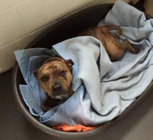 A cadela de seis anos tinha apenas alguns meses de idade quando foi encontrada sozinha e levada para um abrigo. (Foto: Reprodução / Freshfields Animal Rescue)