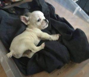 O pequeno cão chegou a instituição em uma situação complicada, mas nunca desistiu. (Foto: Reprodução / Road Dogs & Rescue)