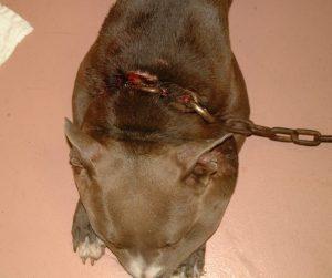 A corrente era tão pesada e apertada que deixou a cabeça do cão inchada e o pescoço bastante machucado. (Foto: Reprodução / Rescue Dogs Rock NYC)