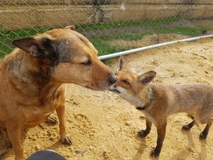 Faith, que já ajudou gatinhos e cordeiros, agora está ajudando a raposa. (Foto: Reprodução / Rachel Parker)