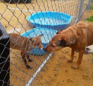 para não ficar sozinha, a raposa foi apresentada a cadela (Foto: Reprodução / Rachel Parker)