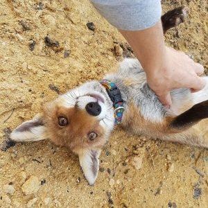 A raposinha Fergie foi encontrada sozinha em uma área de mato. (Foto: Reprodução / Rachel Parker)