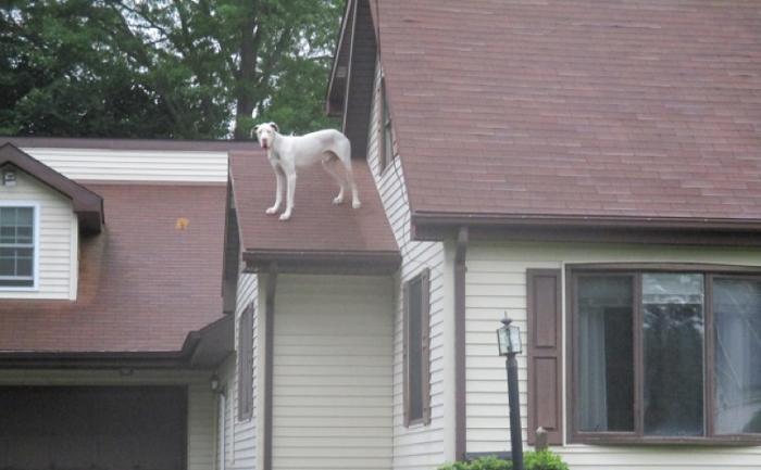 O Dogue Alemão se aventurou no telhado de sua casa! (Foto: Reprodução / BarkPost)