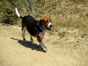 Com o programa e o tratamento, o cão perdeu peso e se tornou mais sociável e menos ansioso.(Foto: Reprodução / Karma Rescue)