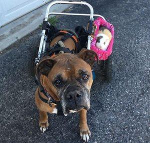 Além de companheira, Smores é também a copilota de Rex e está sempre ao seu lado nos passeios. (Foto: Reprodução / Holly Walthers)