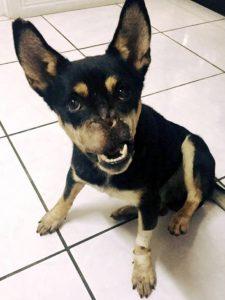 Duke se recupera muito bem da grave cirurgia pela qual passou. (Foto: Reprodução / Asociación Vida Animal Costa Rica)