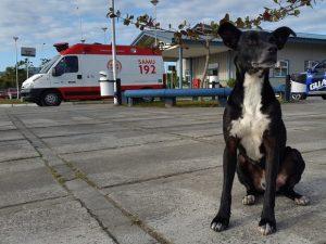 Cachorro seguiu a ambulância que levava seu tutor até o hospital e permanece lá até hoje, oito meses depois. (Foto: Reprodução / Luiz Souza / RBS TV)