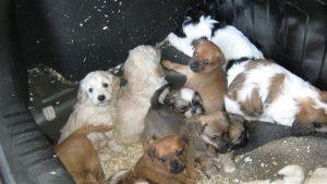Os filhotes são provenientes de criadouros ilegais e seriam vendidos em lojas de animais. (Foto: Reprodução / ISPCA)