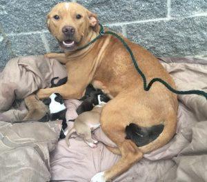 A cadela ficou ao lado de seus filhotes o tempo todo, inclusive no momento do resgate. (Foto: Reprodução / Sacramento SPCA)