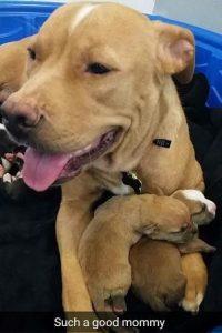 A mamãe Pit Bull foi bastante elogiada pela sua doçura e cuidado com seus filhotes. (Foto: Reprodução / Sacramento SPCA)