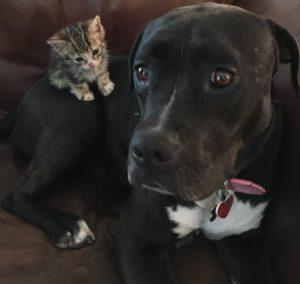 A gatinha e a Pit Bull se apaixonaram desde o primeiro momento. (Foto: Reprodução / Sharra e Glenn Platt)